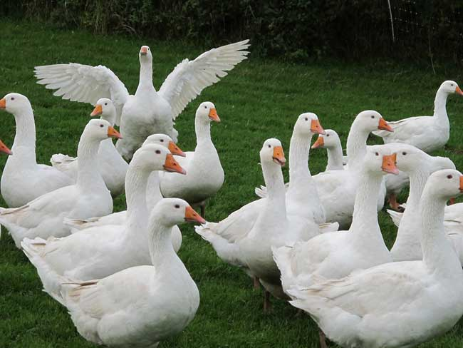 Fresh free range geese from McCartney's of Moira